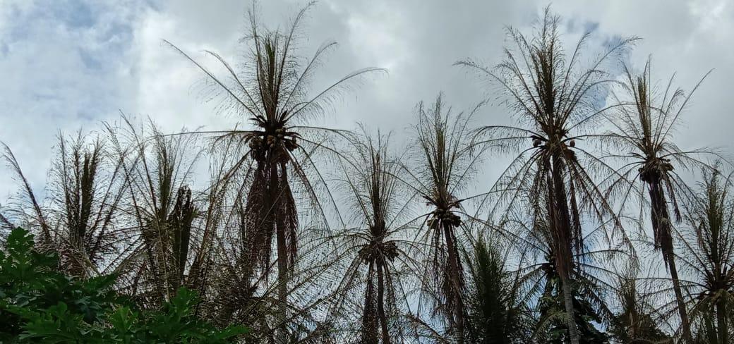 Pohon kelapa di desa kungkai yang tiba-tiba mati. Foto: Edo/Jambiseru.com
