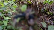 Korban tewas yang masih dililit ular. Foto: Edo/Jambiseru.com