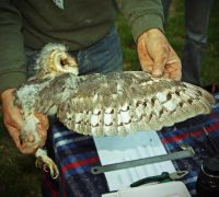 Measuring Barn Owls in the Netherlands