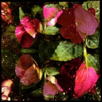 Grigsby's New Flowers (22my.11) 3