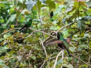7-52-34 Costa Rica|Hummingbirds|©JamesECockroft-20130822