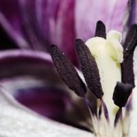 Ageing Tulips VSCO10©JamesECockroft 20140201