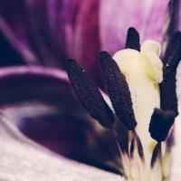 Ageing Tulips VSCO20©JamesECockroft 20140201