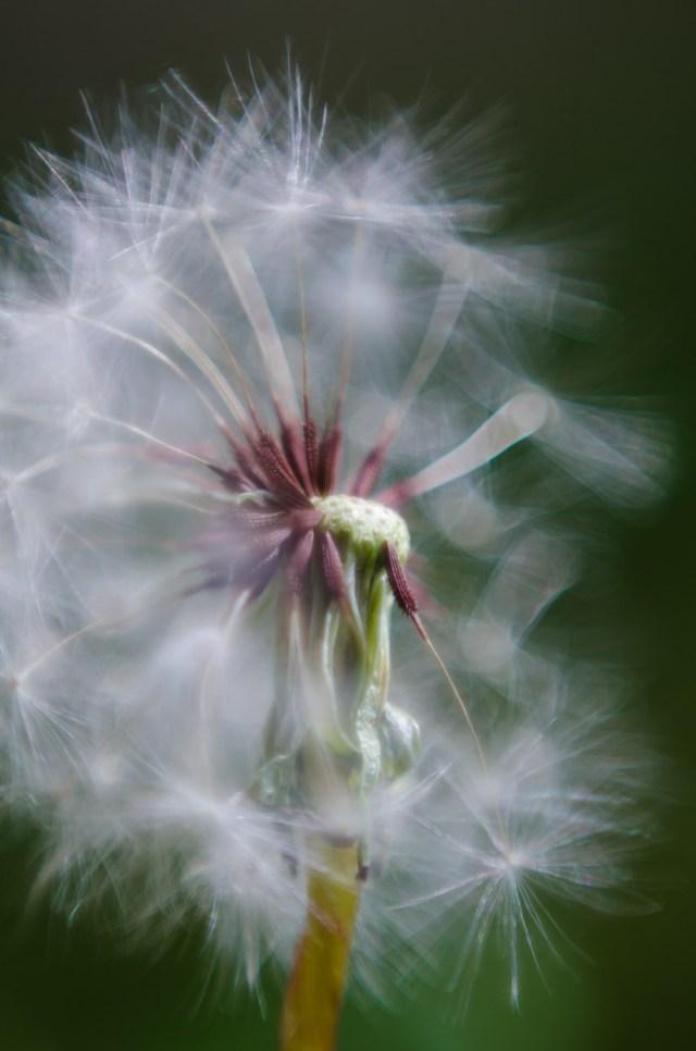 dandelion|2|©JamesECockroft-20140503
