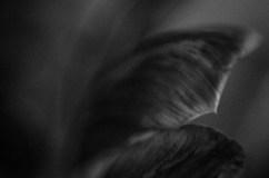 Ageing Tulips|2|©JamesECockroft-20140201