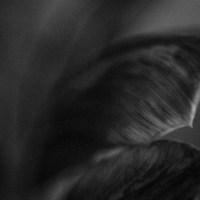 Ageing Tulips2©JamesECockroft 201402011
