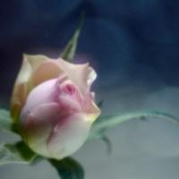 20160214 1026 mini rose ©JamesECockroft 3258
