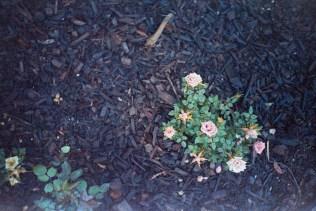 mini roses @400