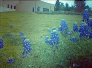 bluebonnets, blurred