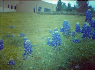 bluebonnets, blurred