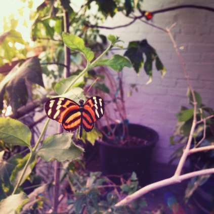 Monarch Butterfly (maybe)