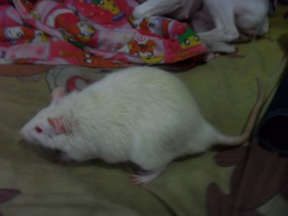 We lost all of our pictures of the rats, so this isn't Merlin, but it's a pretty good approximation. Ladies and gents, I give you... a fat albino rat!