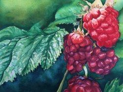 """Sun Kissed Raspberries"" Botanical Watercolor by Jamie Wilke"
