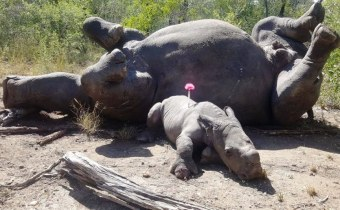 rhino and rhino baby death
