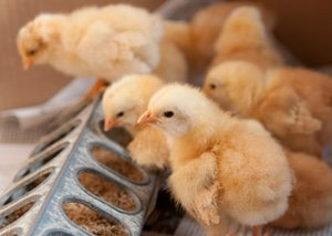 chicks at 4-5 weeks- https://www.jandnfeedandseed.com