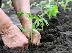 time for tomatoes-https://www.jandnfeedandseed.com #gardening