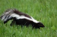 Skunk Trap