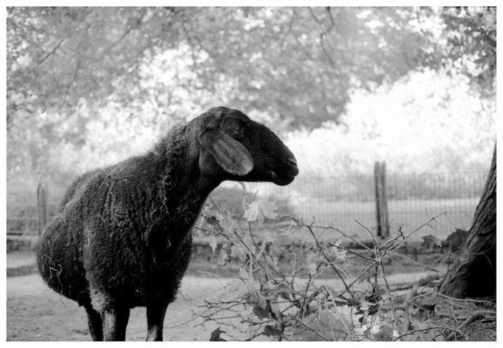 Image: black sheep standing alone