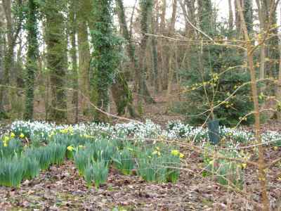 Snowdrops and early daffodils under birches with cornus mas in flower
