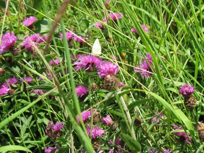 Knapweed with butterfly