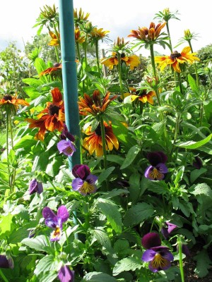 Rudbeckia and violas