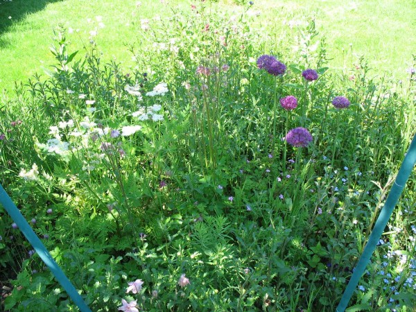 New herb bed with alliums