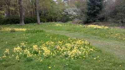Cowslip meadow