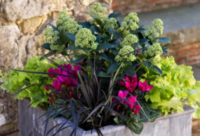 Skimmia, red cyclamen and lime heuchera pot