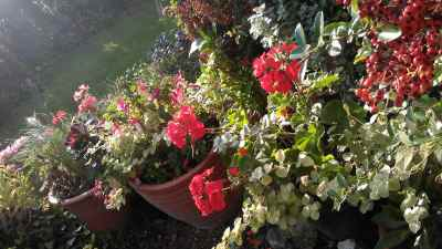 pelargoniums in pots