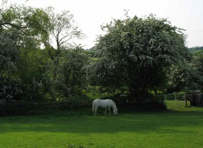 Horse and hawthorn blossom