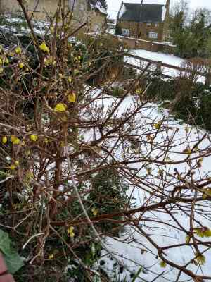 Chimonanthus shrub in flower