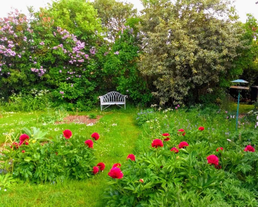 Red peonies, long grass and a white bench behind them in front of lilacs