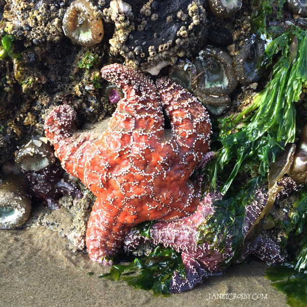 Sea Stars by Janet Crosby
