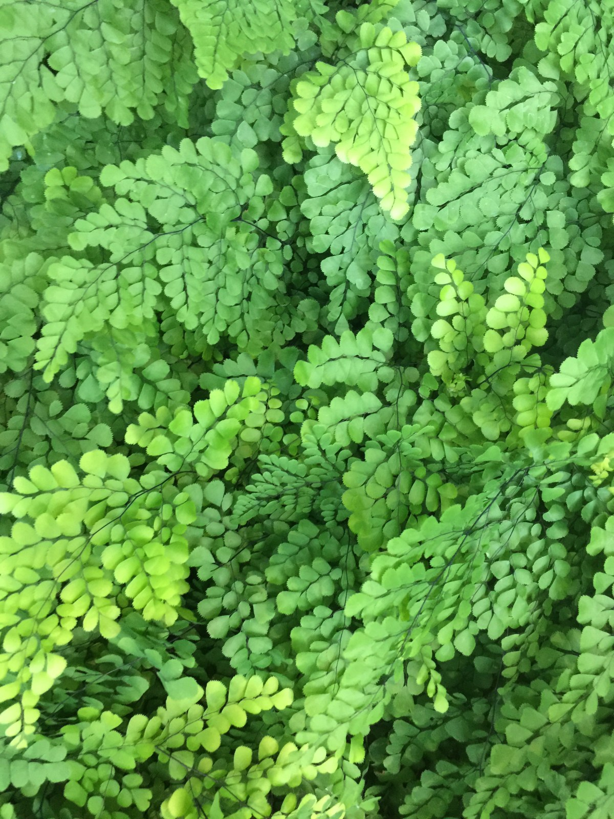 Seattle Maidenhair Ferns by Janet Crosb