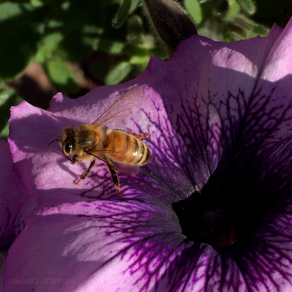 Honeybee perched on a petunia