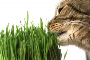 a cat eating grass.