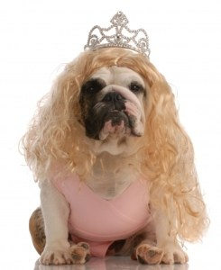 a Cocker Spaniel in a princess costume.