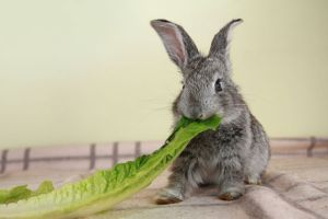 cute gray rabbit eating the green romaine lettuce