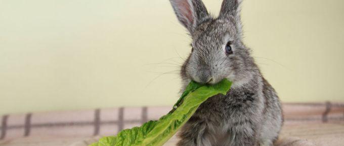 cute gray rabbit eating the green romaine lettuce