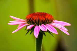 a profile of a purple coneflower