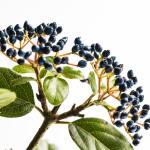 Dark purple elderberries on the stem against a white background.
