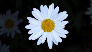 a white daisy on a black background