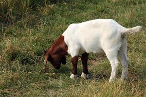 a white and brown goat grazing