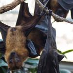 Several bats hanging upside down on a branch.