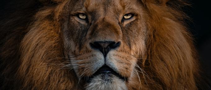 a beautiful lion's face