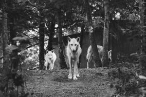 a pack of wolves walking out of the forest toward the photographer