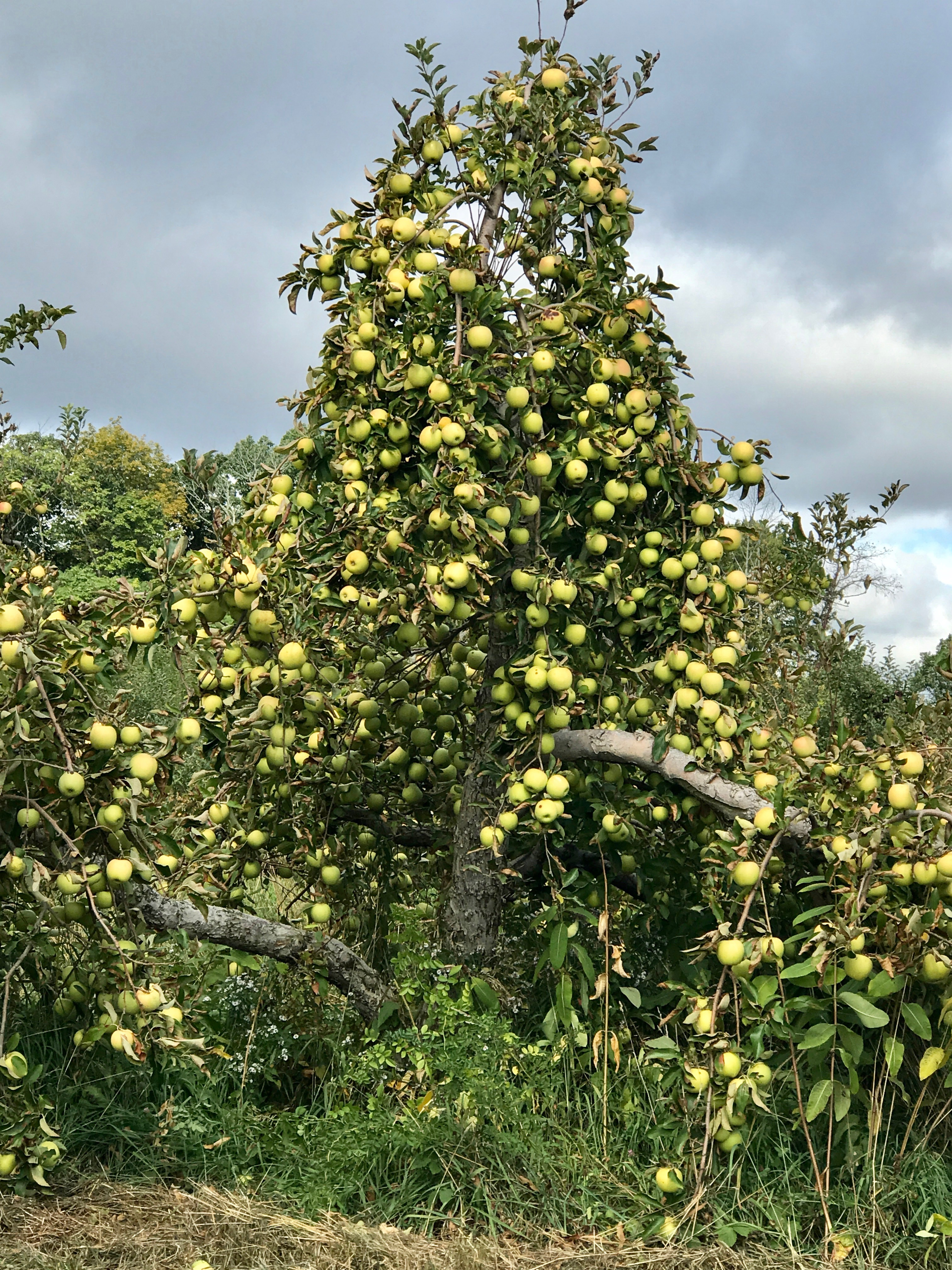 Apples on Tree for picking