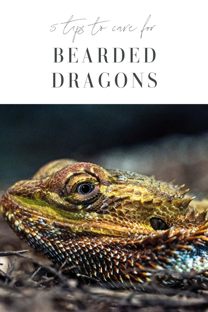 Bearded Dragons Tips