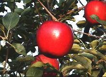 贈答りんごの写真