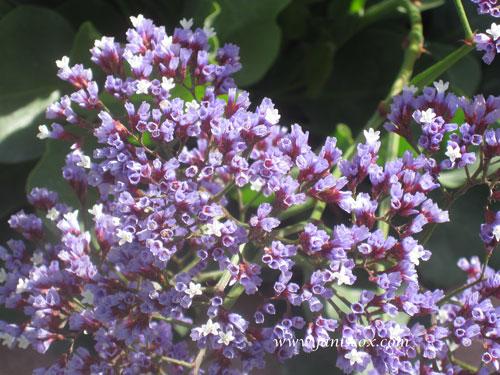 AZ flowers